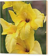 Yellow Gladiolus Wood Print