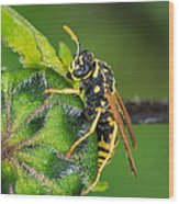 Yellow Jacket Wood Print