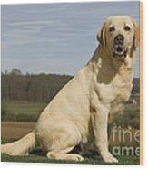 Yellow Labrador Dog Wood Print