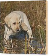 Yellow Labrador Retriever Puppy Standing In Water Wood Print