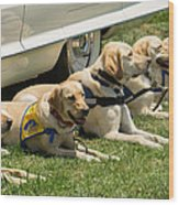 Yellow Labs In Training Wood Print