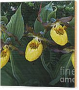 Yellow Lady Slippers On Forest Floor Wood Print