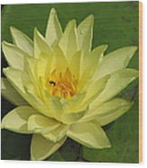 yellow lilly I Wood Print