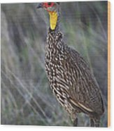 Yellow-necked Francolin... Wood Print