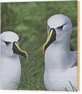 Yellow-nosed Albatross Pair Gough Island Wood Print