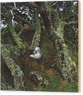 Yellow-nosed Albatrosses In Ferns Wood Print