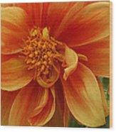 Yellow Orange Dahlia Wood Print