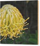 Yellow Pincushion Protea Wood Print