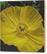 Yellow Poppie Wood Print