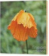Yellow Poppy - Morning Dew Wood Print
