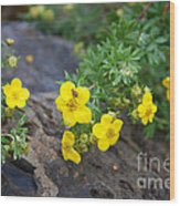 Yellow Potentilla Shrub Wood Print