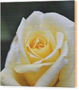 Yellow Rose - 1 Wood Print