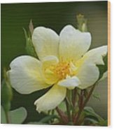 Yellow Rose 2013a Wood Print