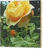 Yellow Rose And Buds Wood Print