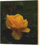 Yellow Rose Dapples With Waterdfrops Wood Print
