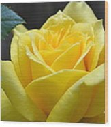 Yellow Rose Ll Wood Print