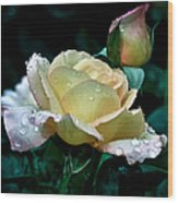 Yellow Rose Morning Dew Wood Print