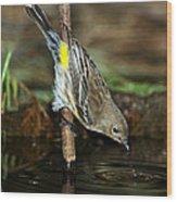 Yellow-rumped Warbler Drinking Wood Print