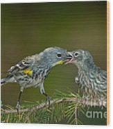 Yellow-rumped Warbler Feeding Young Wood Print