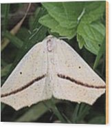 Yellow Slant-line Moth Wood Print