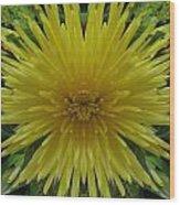 Yellow Spider Mum Wood Print