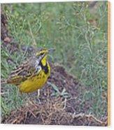 Yellow-throated Longclaw Wood Print
