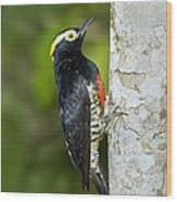 Yellow-tufted Woodpecker Wood Print