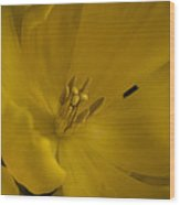 Yellow Tulip Wood Print by Cindy Rubin