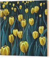 Yellow Tulip Field Wood Print