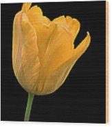 Yellow Tulip Open On Black Wood Print