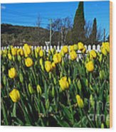 Yellow Tulips Before White Picket Fence Wood Print