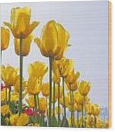 Yellow Tulips Wood Print
