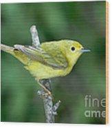 Yellow Warbler Dendroica Petechia Female Wood Print