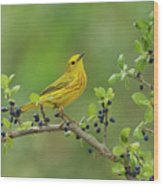 Yellow Warbler Male Perched On Elbow Wood Print