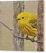 Yellow Warbler Pictures 90 Wood Print