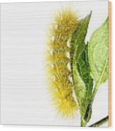 Yellow Wooly Bear Wood Print