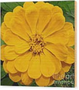 Yellow Zinnia Wood Print