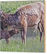 Yellowstone Elk Cow And Calf Wood Print