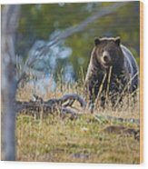 Yellowstone Grizzly Coming Over Hill Wood Print