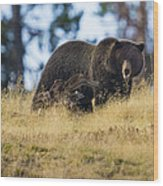 Yellowstone Grizzly Showing Teeth Wood Print