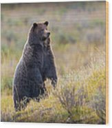 Yellowstone Grizzly Standing - 1 Wood Print