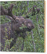 Yellowstone Munching Moose Wood Print
