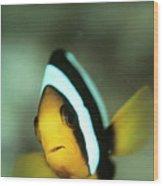 Yellowtail Anemonefish Wood Print