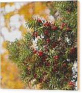Taxus Baccata Or Yew Red Fruits On Twig  Wood Print