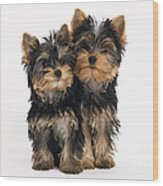 Yorkie Puppies Wood Print