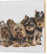 Yorkshire Terriers Wood Print
