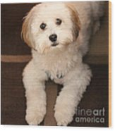 Yoshi Is One Today - Havanese Puppy Wood Print