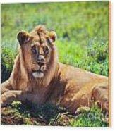 Young Adult Male Lion On Savanna. Safari In Serengeti. Tanzania Wood Print