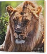 Young Adult Male Lion Portrait. Safari In Serengeti Wood Print