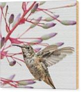 Young Allen's Hummingbird Wood Print